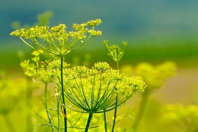 Organic Fennel ….Benefits and Uses